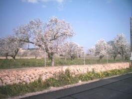Rosa Mandelblüten am Straßenrand