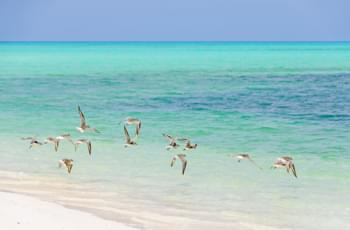 Vögel am Strand Cayo Levisa Kuba