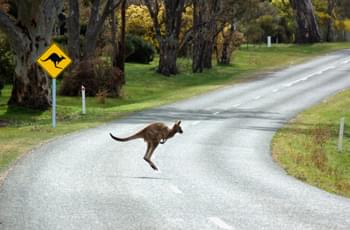 Känguru auf der Straße in Australien
