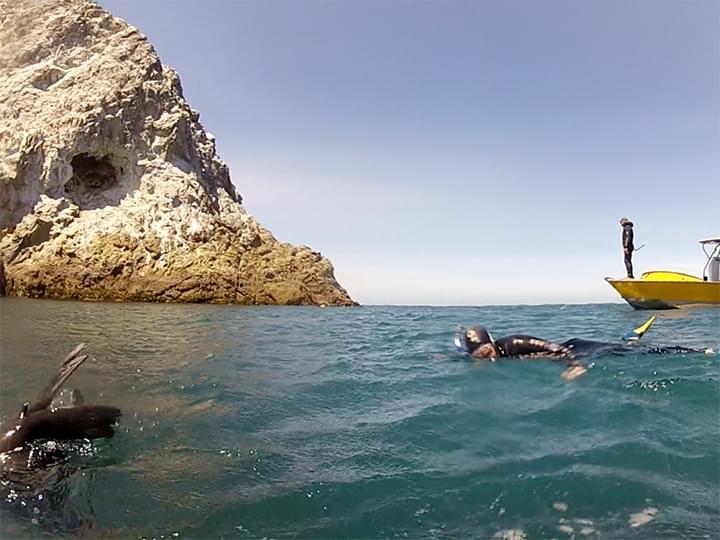 In Kaikoura: Mit Robben tauchen