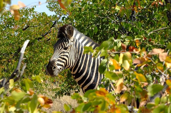 Nach langem Warten: Ein Zebra