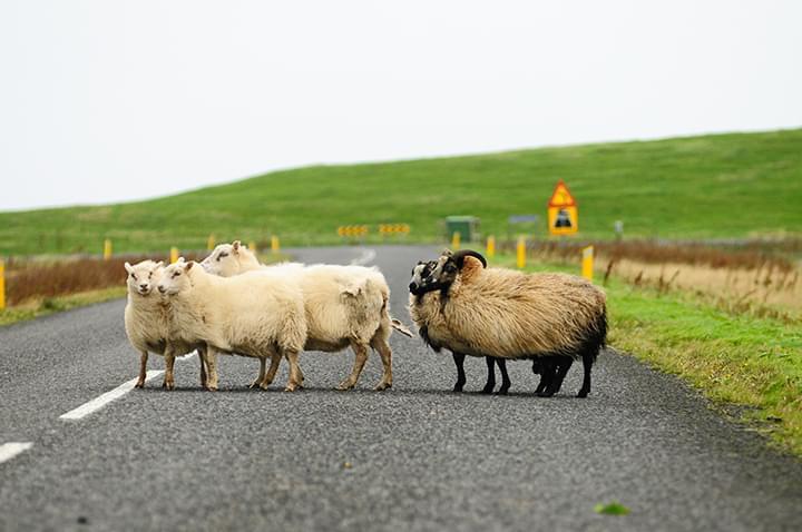 Island: Schafe auf der Straße