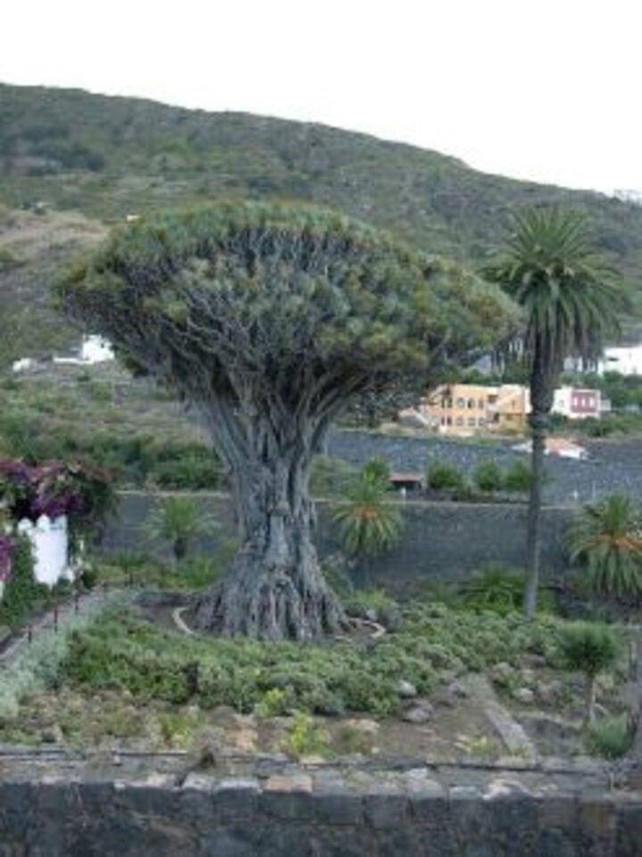 Drachenbaum auf Teneriffa