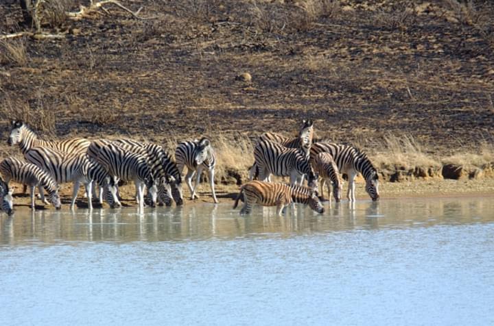 Zebras im Wasser
