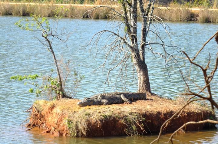 Krokodile beobachten