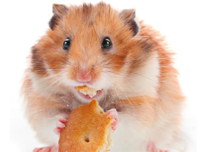 Hamster beim Essen