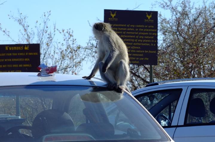 Affe auf dem Auto
